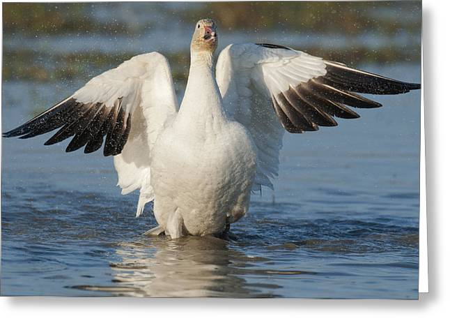 Us Open Photographs Greeting Cards - Snow Goose Flapping Skagit River Greeting Card by Kevin Schafer