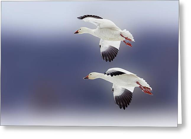 Morph Greeting Cards - Snow Goose Flight Greeting Card by Bill Tiepelman