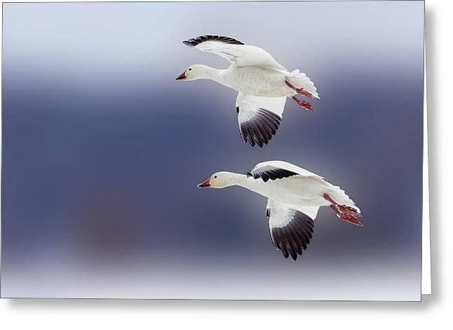 Snow Goose Flight Greeting Card by Bill Tiepelman