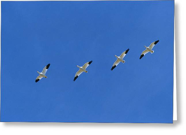 Geese Greeting Cards - Snow Goose Flock in Formation Greeting Card by Konrad Wothe