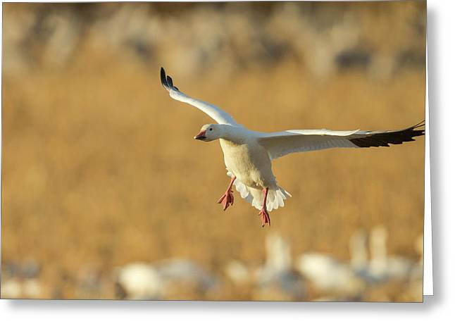 Snow Goose Landing In Corn Fields, Chen Greeting Card by Maresa Pryor