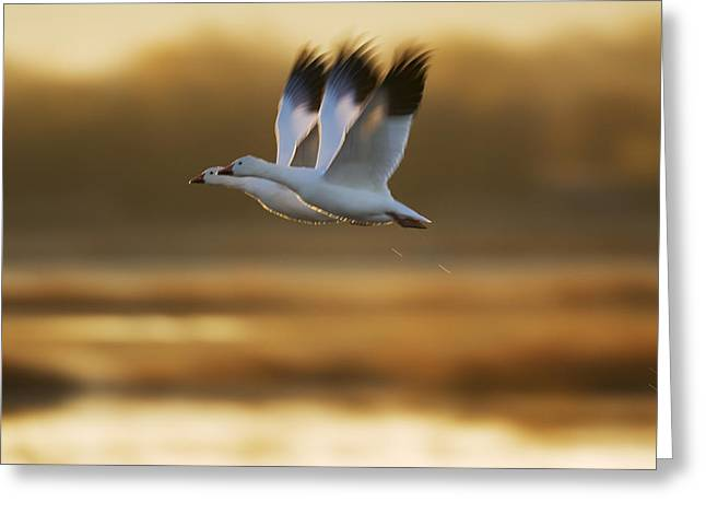 Geese Photographs Greeting Cards - Snow Goose Pair Flying Greeting Card by Konrad Wothe
