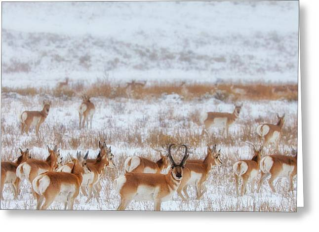 Snow Scenes Greeting Cards - Snow Grazers Greeting Card by Darren  White