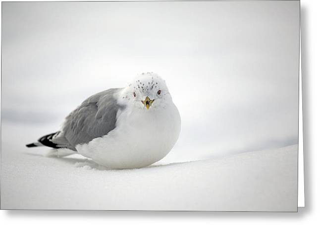 Snowstorm Greeting Cards - Snow Gull Greeting Card by Karol  Livote