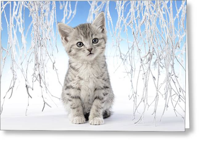 Christmas Eve Greeting Cards - Snow Kitten Greeting Card by Greg Cuddiford