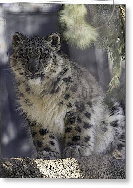 Leopard Cat Greeting Cards - Snow Leopard 1 Greeting Card by Everet Regal