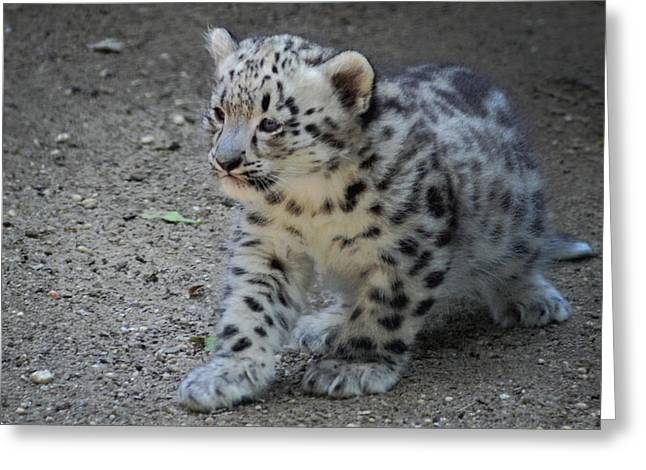 Photo Gifts Greeting Cards - Snow Leopard Cub Greeting Card by Terry DeLuco