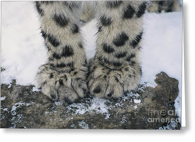 Mammalia Greeting Cards - Snow Leopard Feet Greeting Card by Thomas and Pat Leeson