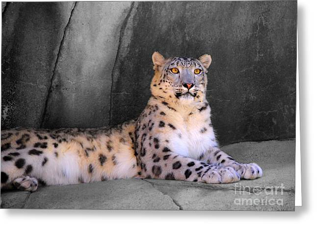 Cat Photographs Greeting Cards - Snow Leopard II Greeting Card by Jai Johnson