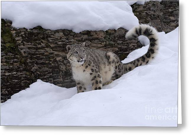 Controlled Environment Greeting Cards - Snow Leopard Greeting Card by Sandra Bronstein
