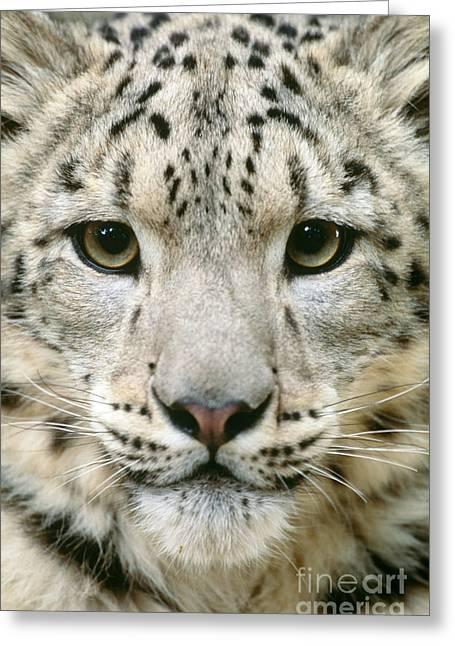Snow Leopard Uncia Uncia Greeting Card by Art Wolfe