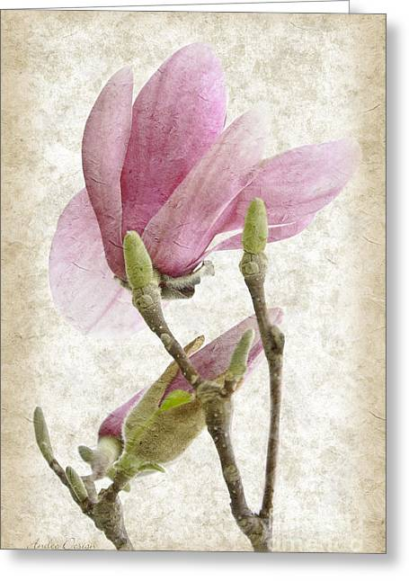 Pink Flower Branch Greeting Cards - Snow Magnolia Painterly 3 Greeting Card by Andee Design
