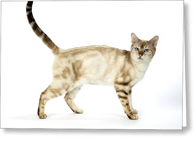 Cats Eye Marbles Greeting Cards - Snow Marble Bengal Cat Greeting Card by John Daniels
