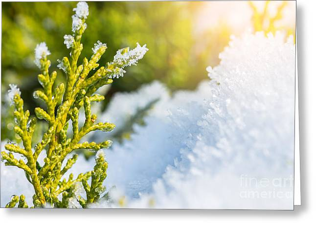 Close Focus Nature Scene Greeting Cards - Snow melts on coniferous tree in winter Greeting Card by Gregory DUBUS