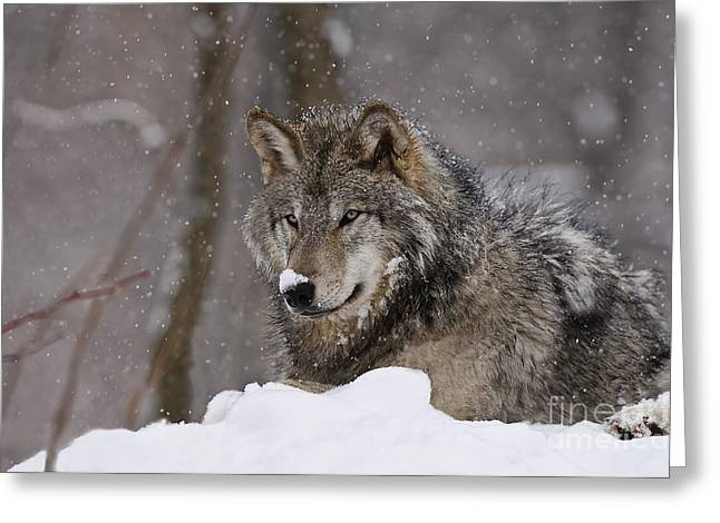 Snow Nose Greeting Card by Wolves Only