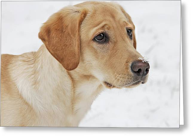 Sporting Dog Greeting Cards - Snow on my Nose Labrador Retriever Greeting Card by Jennie Marie Schell