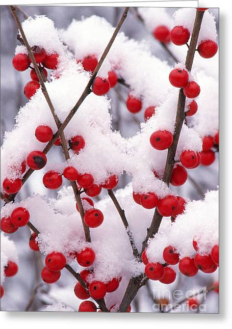 Black Berries Greeting Cards - Snow On Winterberry Greeting Card by Larry West