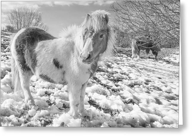 Smart Greeting Cards - Snow Ponies Greeting Card by Christine Smart
