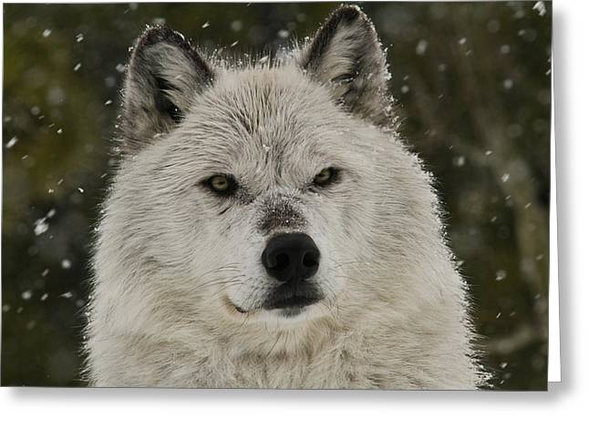 Preditor Greeting Cards - Snow Wolf Greeting Card by Steve McKinzie