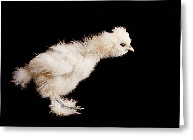 Fluffy Chickens Greeting Cards - Snowball Greeting Card by Rebecca Skinner