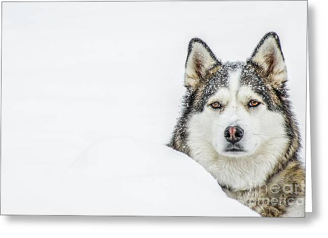 Husky Greeting Cards - Snowbound Greeting Card by ArtissiMo Photography