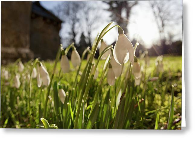 Snowdrop Flowers In The Sunlight Greeting Card by John Short