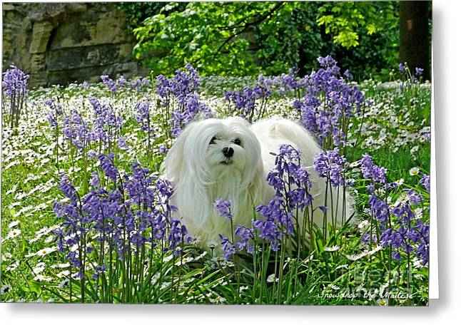 Maltese Greeting Cards - Snowdrop in the Bluebell Woods Greeting Card by Morag Bates