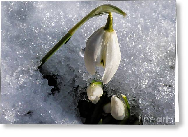 Poking Greeting Cards - Snow White Snowdrops in the Snow Greeting Card by Lynn Bolt