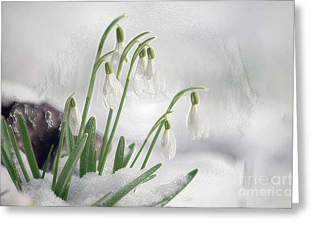 Spring Bulbs Greeting Cards - Snowdrops on Ice Greeting Card by Sharon  Talson
