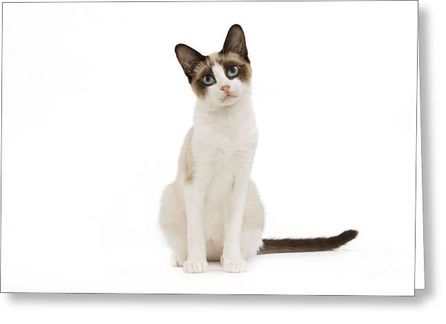 Head Tilt Greeting Cards - Snowshoe Cat Greeting Card by Jean-Michel Labat