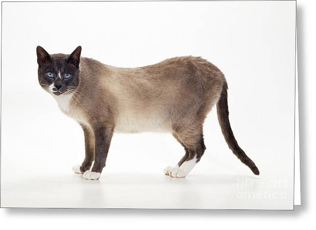 Snowshoes Greeting Cards - Snowshoe Cat Greeting Card by John Daniels