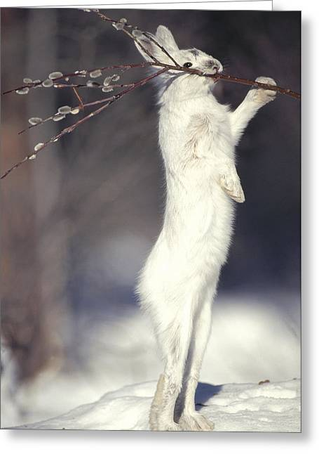 Snowshoe Hare Feeding On Pussy Willow Greeting Card by Michael Quinton