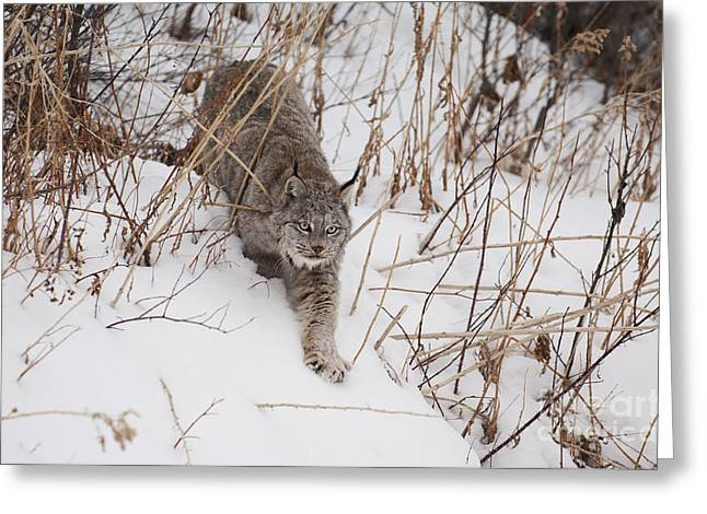Wild Animals Greeting Cards - Lynx-Snowshoeing Greeting Card by Wildlife Fine Art