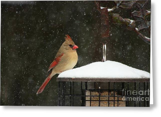 Female Northern Cardinal Greeting Cards - Snowy Cardinal Greeting Card by Benanne Stiens
