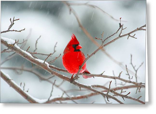 Snowy Cardinal Greeting Card by Karol Livote