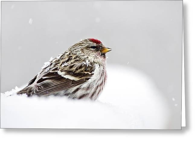 Christmas Greeting Photographs Greeting Cards - Snowy Common Redpoll Greeting Card by Christina Rollo