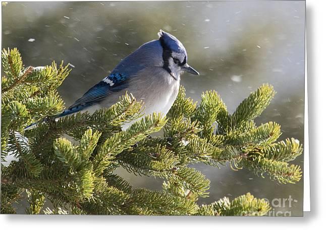 Lloyd Alexander Greeting Cards - Snowy Day Blue Jay Greeting Card by Lloyd Alexander