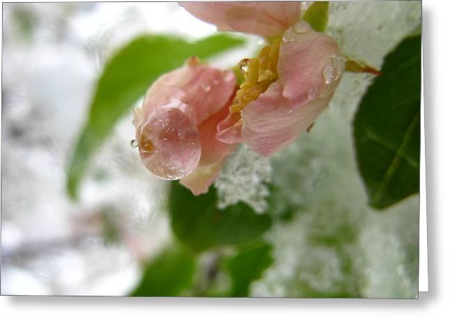 Snow Drops Greeting Cards - Snowy Drop Greeting Card by Rhonda Barrett