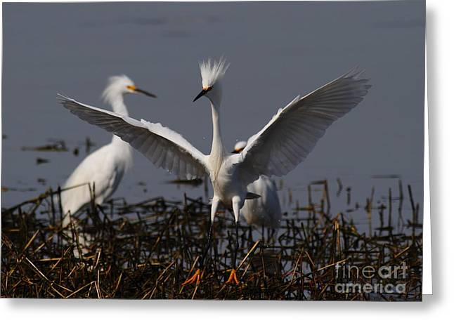 Water Fowl Greeting Cards - Snowy Egret . There Is Still Hope My Eagle Stance Will Distract Them From My Bad Hair Day . 7D12046 Greeting Card by Wingsdomain Art and Photography