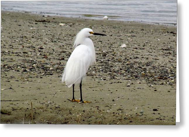 Chatham Greeting Cards - Snowy Egret Greeting Card by Amy Coomber Eberhardt
