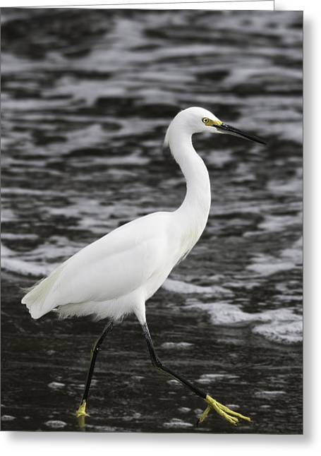 Santa Cruz Pier Greeting Cards - Snowy Egret at Waters Edge Greeting Card by Randy Stiefer