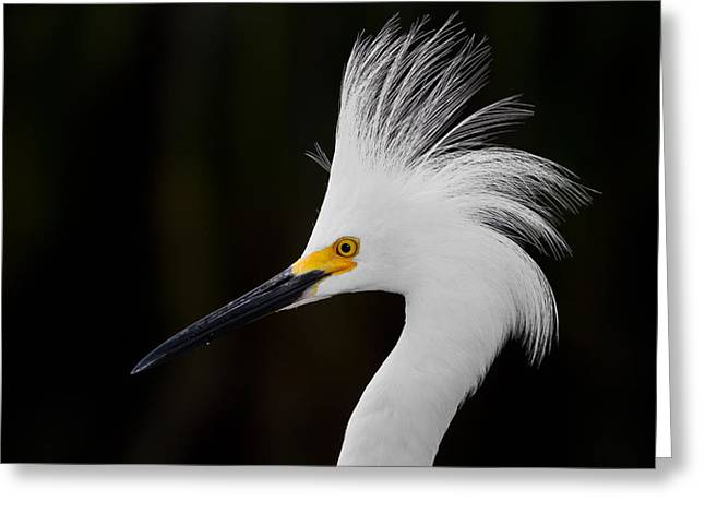 Watching Greeting Cards - Snowy Egret Crown Greeting Card by Andres Leon