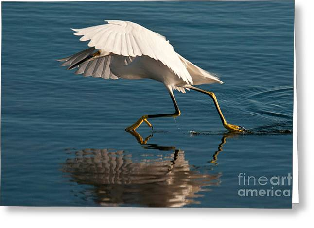 Egretta Thula Greeting Cards - Snowy Egret Egretta Thula Greeting Card by Mark Newman