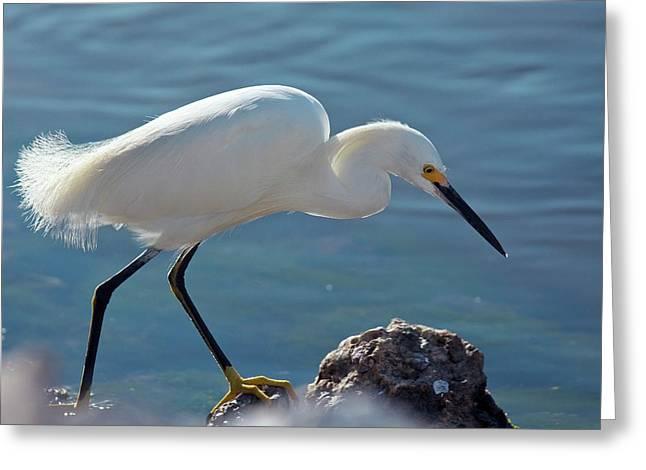 Snowy Egret Feeding Greeting Card by Bob Gibbons