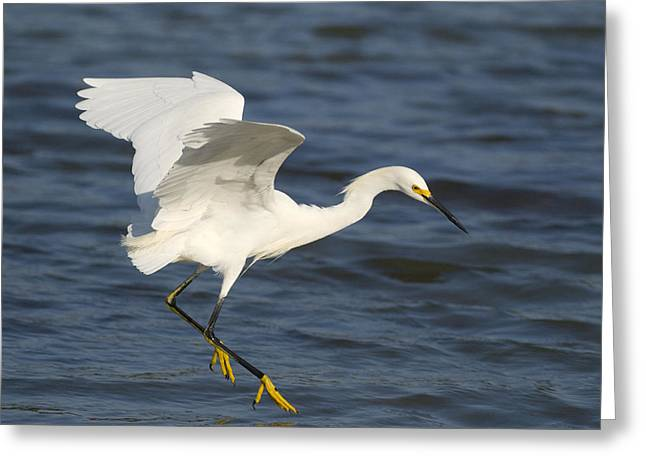 Egretta Thula Greeting Cards - Snowy Egret Flying Greeting Card by Steve Gettle