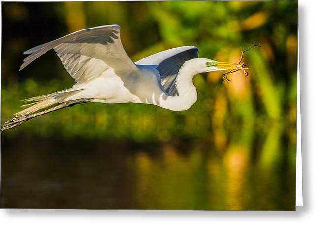 Legs Spread Greeting Cards - Snowy Egret Flying with a Branch Greeting Card by Andres Leon