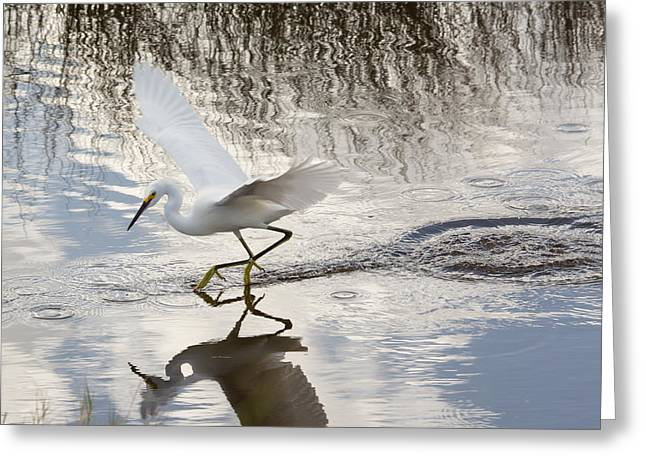 Snowie Greeting Cards - Snowy Egret Gliding Across the Water Greeting Card by John Bailey