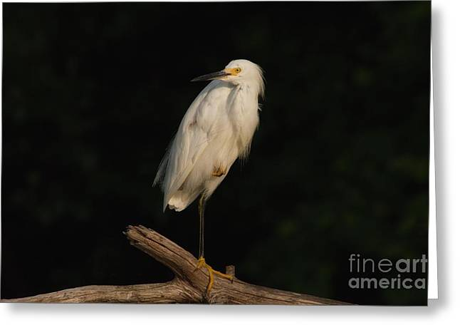 Snowy Egret Greeting Cards - Snowy Egret II Greeting Card by Heidi Piccerelli