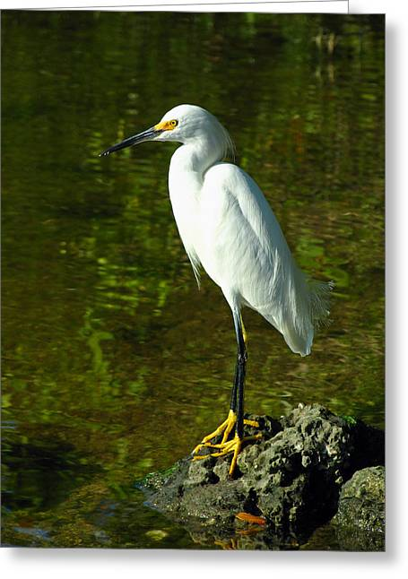 South West Florida Greeting Cards - Snowy Egret Greeting Card by Juergen Roth