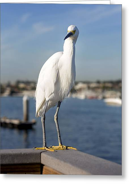 Egretta Thula Greeting Cards - Snowy Egret Greeting Card by Kelley King